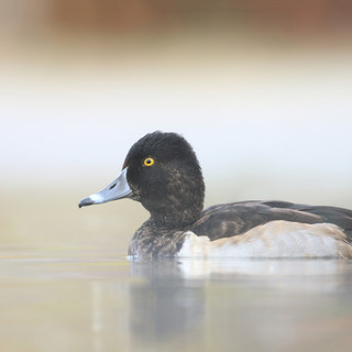 Fuligule à collier - Ring-necked duck ♂