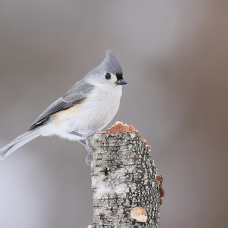 Mésange bicolore - Tufted titmouse