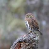Chevêchette naine - Northern-pygmy owl