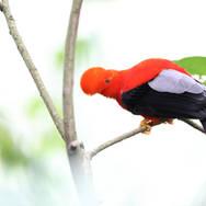 Coq-de-roche péruvien - Andean cock-of-the-rock - Rupicola peruvianus