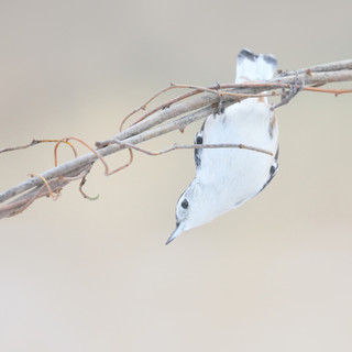 Sittelle à poitrine blanche - White-breasted nuthatch