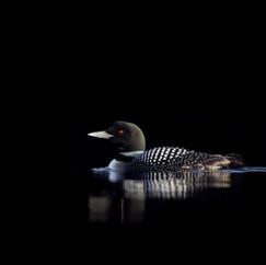 Plongeon huard - Common loon