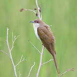 ​Coulicou à bec noir - Black-billed cuckoo