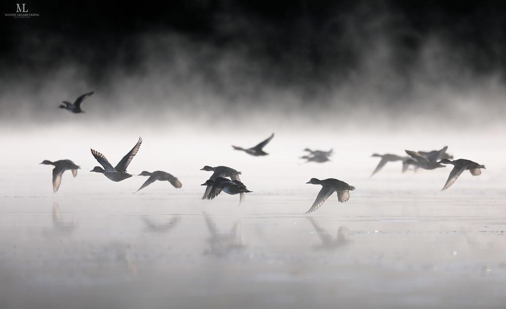 Fuligules en migration