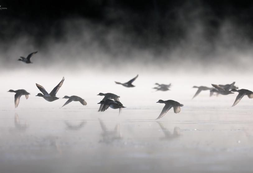 Migration d'automne.