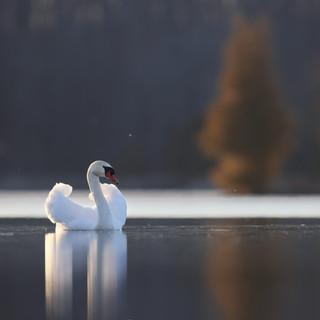 Cygne tuberculé - Mute swan