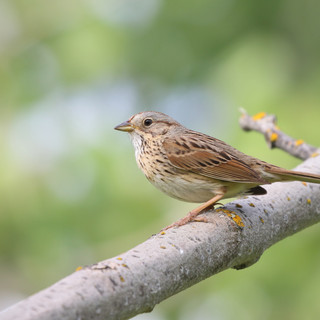 Brunt de Linlcoln - Lincoln's sparrow