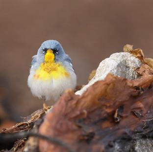 Paruline à collier -  northern parula