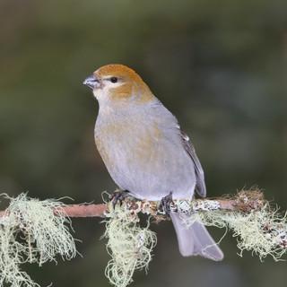 Durbec des sapins - Pine Grosbeak ♀