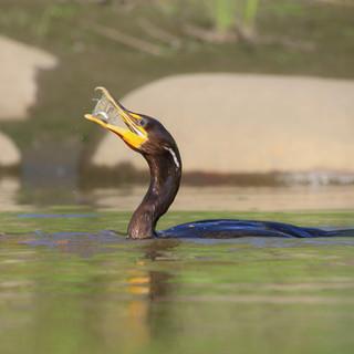 Cormoran à aigrettes  -  Double-crested Cormorant