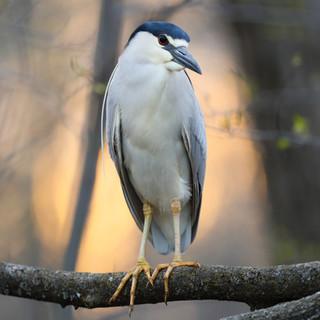 Bihoreau gris - Black-crowned night heron