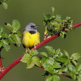 Paruline triste - Mourning warbler (