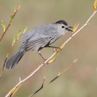 Moqueur chat - Gray catbird