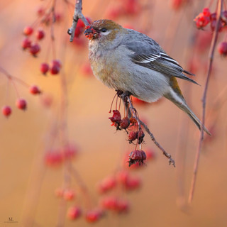 Durbec des sapins - Pine Grosbeak ♂