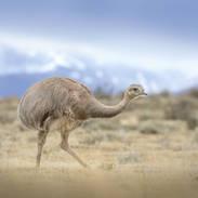 Nandou de Darwin - Lesser Rhea
