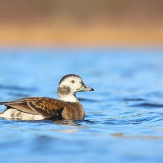 Harelde kakawi  -  Long-tailed duck
