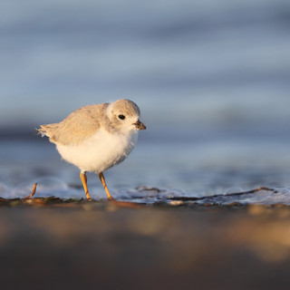 Pluvier siffleur juvénile - Piping Plover juvenile