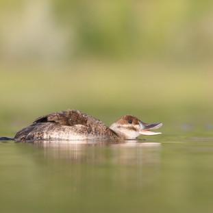 Érismature rousse - Ruddy duck