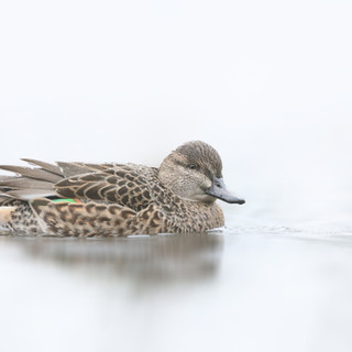 Sarcelle d'hiver  -  Green winged teal