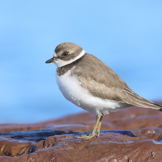 Pluvier semipalmé  -  Semipalmated plover