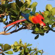 Ara rouge - Scarlet macaw