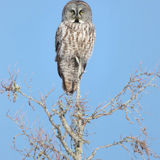 Chouette lapone - Great grey owlChouette lapone - Great grey owl