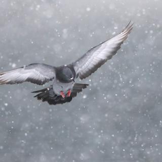 Pigeon biset - Rock pigeon