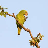Amazone à front jaune - Yellow-crowned Parrot - Amazona ochrocephala