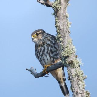 Faucon émerillon - Merlin
