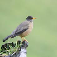 Merle australe - Austral thrush