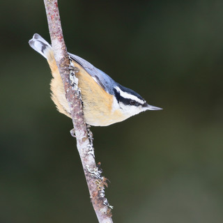 Sittelle à poitrine rousse  -  Red-breasted nuthatch