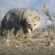 Renard gris d'Argentine - South American gray fox