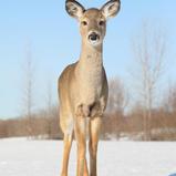 Cerf de virginie - White-tailed deer