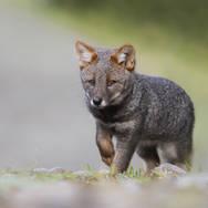 Renard de Darwin - Darwin's fox