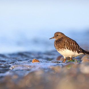 Tournepierre noir - Black Turnstone