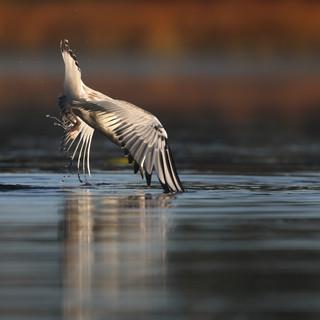 Mouette de Bonaparte juvénile- Bonaparte's Gull juvenile