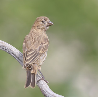Roselin famillier - House finch