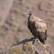 Condor des Andes - Andean condor