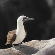 Fou varié - Peruvian booby