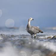 Upland goose - Ouette de Magellan - Chloephaga picta