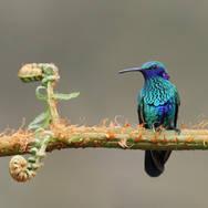 Colibri d'Anaïs - Sparkling Violetear - Colibri coruscans