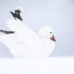Oies des neiges - Snow goose
