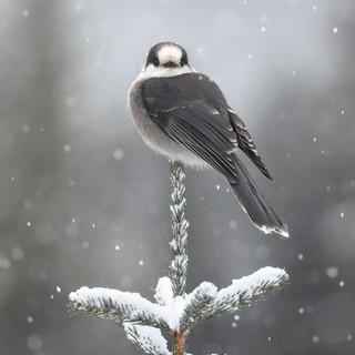 Mésangeai du Canada  -  Gray jayMésangeai du Canada  -  Gray jay