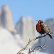 Sturnelle australe - Long-tailed meadowlark