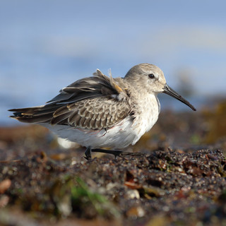 Bécasseau variable  -  Dunlin