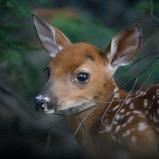 Jeune cerf de virginie - White-tailed deer