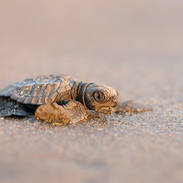 Tortue de mer - Sea turtle
