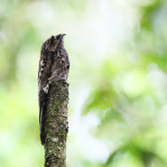 Ibijau gris - Common potoo - Nyctibius griseus