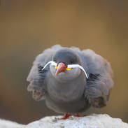 Sterne inca - Inca tern