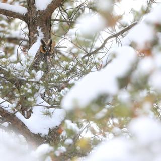 Hibou moyen-duc - Long-eared Owl